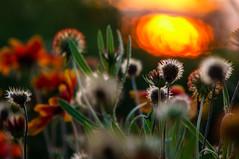 Když jde letní slunce spát (Radebe27) Tags: summer leto sunset sun zlinskykraj zlin czechrepublic sony nex6 flower kytky zapadslunce podvecer