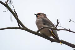 Свиристель (Yuriy Kuzmenok) Tags: птицы птица природа свиристель