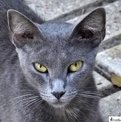 Gato Gris. (In Dulce Jubilo) Tags: gato cat animal animals eyes kitten cachorro pet gris calle street espagne españa spain spanien