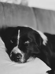 Rian 🐾 Do not disturb (unbunt.me) Tags: iphone aussie hund australianshepherd kodak vsco blackwhite bw dog hoffnungs blackandwhite