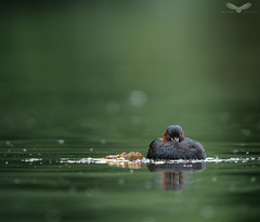 Little grebe (Andy Davis Photography) Tags: tachybaptusruficollis grebe littlegrebe pool lake reflection summer green bird water sony