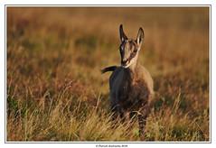 Le regard joueur d'un jeune chamois. (Patabois) Tags: chamois hautes vosges animal montagne sauvage