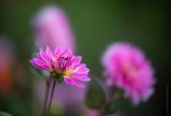 Pink Dahlias (www.mikereidphotography.com) Tags: gfx50s pink dahlia