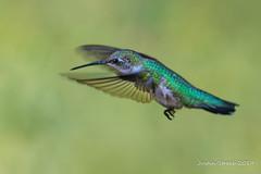 Hummingbird 9-19 (strjustin) Tags: hummingbird rubythroatedhummingbird beautiful bird