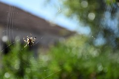 la toile (fidber) Tags: araignée toile net insecte