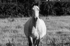 Toby (Jodie Middleton) Tags: goldenhour golden horses pony canter trot outside field outdoor animals outdoors fields