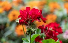 Geranium 'Grandeur Red'  2 of 2 (Orbmiser) Tags: nikonafpdx70300mmf4563gedvr d500 nikon oregon portland geranium flowers