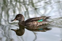 Reflecting teal (karen leah) Tags: teal tealduck duck reflection bird nature outdoors wildlife teifimarshes cilgerran water pond september autumn