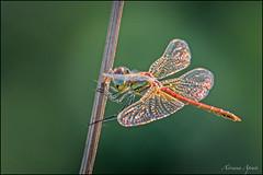 Libellula (adrianaaprati) Tags: libellula dragonfly macro september bokeh