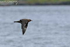 Arctic Skua (Stercorarius parasiticus) (gcampbellphoto) Tags: bird flight nature bif wildlife seabird coastal northern ireland irish gcampbellphotocouk arctic skua stercorarius parasiticus jaeger parasitic