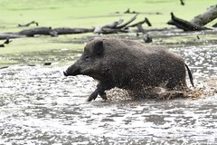 AK2_9341 (Andrea Kammer) Tags: tierfotografie schwein wildschwein wildparkfasaneriekleinauheim
