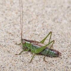 _IMG0094 Short-winged Cone-head - Conocephalus dorsalis (Pete.L .Hawkins Photography) Tags: shortwinged conehead conocephalus dorsalis petehawkins petelhawkinsphotography petelhawkins petehawkinsphotography 150mm macro pentaxpictures pentaxk1 petehawkinsphotographycom rotherhamphotographer irix f28 11 fantasticnature fabulousnature incrediblenature naturephoto wildlifephoto wildlifephotographer naturesfinest unusualcreature naturewatcher minibeast tiny creatures creepy crawly bug wildlife insectphoto bugphoto insect invertebrate 6legs compound eyes uglybug bugeyes bush cricket