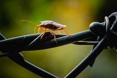 Walkin the fence (padl030) Tags: nature bug insekten käfer