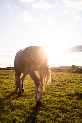 Into the sunset (Jodie Middleton) Tags: goldenhour golden sunset lighting flare lensflare horses pony canter trot outside field outdoor animals outdoors fields