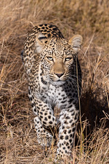 leopard - Kruger NP - South Africa (bart coessens) Tags: animals animal free mammal mammals predator predators feline panthera panter leopard big cats cat luipaard dier wilde dieren wildlife wild kruger flickrbigcats national park shimuwini h14 limpopo south africa african parks southern game gameviewing gamedrive sanparks sanp exotic safari mpumalanga roofdier southafrica southafricannationalparks southernafrica bigcats bigcat krugernationalpark