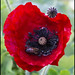 Remembrance Poppy and bee__1