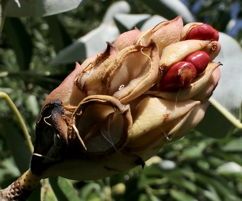 Magnolia virginiana l. x virginiana l. 'milton' 779-87-C