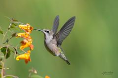 Ruby-throated Hummingbird on Jewelweed (CharlesHastings) Tags: whitby wildlife location birds rubythroatedhummingbird nature archilochuscolubris