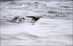 Wilson's Storm-Petrel (Oceanites oceanicus) (Steve Arena) Tags: racepoint racepointpoint hurricanedorian bird birds birding pelagic pelagicbirds provincetown barnstablecounty massachusetts nikon d750 2019 rpp wilsonsstormpetrel oceanitesoceanicus