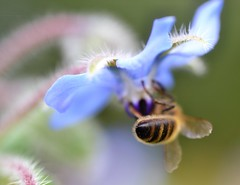 honey bee on borage {explored} (conall..) Tags: nikon afs nikkor f18g lens 50mm prime primelens nikonafsnikkorf18g closeup raynox dcr250 macro county down tullynacree nw551041 annacloy garden northernireland bee honeybee apis mellifera apismellifera pollination flower borage borago officinalis boragoofficinalis