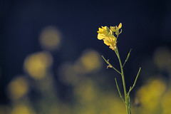 Passing beauty / Мимолетная красота (Boris Kukushkin) Tags: flower chinese reddish closeup yellow blue цветок масличная редька желтый синий юпитер 37a jupiter