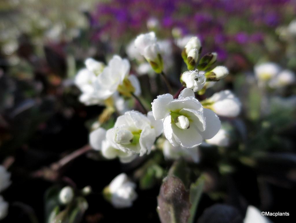 Arabis alpina ssp. caucasica 'Flore Pleno'