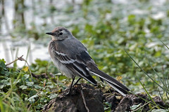 pied wagtail (DODO 1959) Tags: wildlife piedwagtail avian animal outdoor nature fledgling water fauna wales carmarthenshire llanelli dafenscrapes wwt goodhallhide canon 100400mmmk2 7dmk2