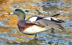 Duck Spreading Wings (stevblock) Tags: duck spreading wings