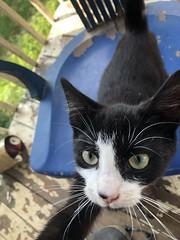 My Tuxedo Cat Max (bigguy41231) Tags: pet max cat tuxedocat