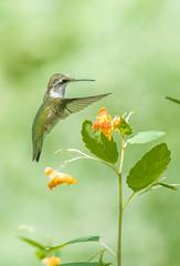 Colibri à gorge rubis (f) / Ruby-throated hummingbird (f) (Sammyboy77) Tags: colibriàgorgerubis rubythroatedhummingbird archilochuscolubris