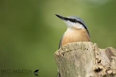 Nuthatch (Matt Hazleton) Tags: nuthatch sittaeuropaea wood woodland bird wildlife nature animal outdoor canon canoneos7dmk2 canon100400mm eos 7dmk2 100400mm matthazleton matthazphoto northamptonshire