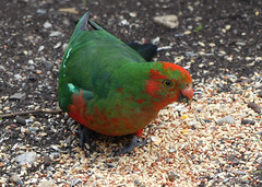 True Colours (PhotosbyDi) Tags: kingparrot parrot bird australia nature panasonicfz300 lumixfz300 panasoniclumix