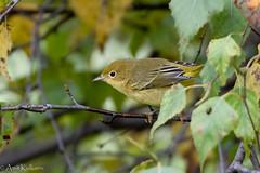 Yellow Warbler (akulkarn) Tags: birds warblers