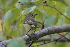 Ruby-crowned Kinglet (akulkarn) Tags: birds warblers