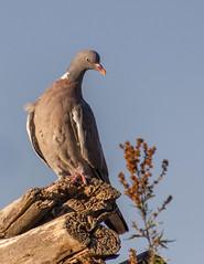 Pigeon Ramier / Common Wood Pigeon / Columba Palumbus (PriscillaHernandez85) Tags: columbapalumbus commonwoodpigeon france isère oiseau pigeonramier rhonealpes bird tamron18400 tamron eos550d