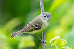 Bell's Vireo (Gf220warbler) Tags: missouri vireo migrant ozark passerine songbird