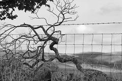 Framework (Tony Tooth) Tags: nikon d600 nikkor 105mm tree deadtree skeletal fence roadside trackside burntclifftop cheshire bw blackandwhite monochrome
