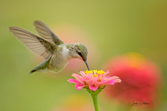Ruby-Throated Hummingbird (lindapp57) Tags: rubythroatedhummingbird bird