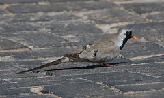 Namaqua Dove (1) (Richard Collier - Wildlife and Travel Photography) Tags: namibia southernafrica birds wildlife naturalhistory nature namaquadove