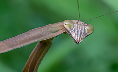 Yet Another Praying Mantis (Kitty Kono) Tags: prayingmantis valleyforge kittyrileykono