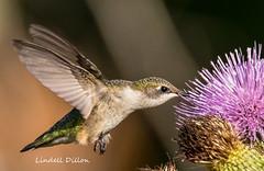 Ruby-throated Hummingbird (Lindell Dillon) Tags: rubythroatedhummingbird birds birding nature thistle oklahoma wildoklahoma