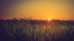 _Y0A9123 (ELebro) Tags: sunset sun rice field landscape portugal gold golden orange