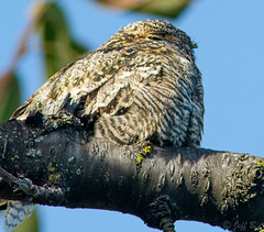 Sleeping Nighthawk (jeffb477) Tags: birds bird backyard nighthawk sleeping nature ontario outdoor outside toronto canada canadian nikon d7100