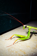Praying mantis. (Franco-Iannello) Tags: portrait animals prayingmantis nature insects
