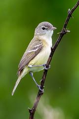 Bell's Vireo (Gf220warbler) Tags: missouri ozark passerine songbird migrant