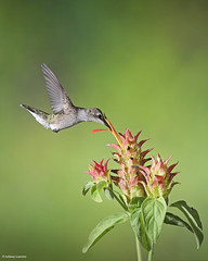 Ruby-throated Hummingbird (anthonylouviere) Tags: bird birding rubythroatedhummingbird