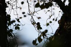 Eastern Phoebe (atlnature) Tags: taxonomy:species=phoebe taxonomy:common=phoebe animalia aves taxonomy:common=eaph chordata haustyrann eaph taxonomy:common=harmaafiivi taxonomy:binomial=sayornisphoebe taxonomy:family=tyrannidae taxonomy:common=haustyrann sayornis taxonomy:class=aves taxonomy:common=papamoscasfibí taxonomy:common=easternphoebe sayornisphoebe taxonomy:kingdom=animalia taxonomy:common=moucherollephébi easternphoebe taxonomy:phylum=chordata tyrannidae roswellriverwalk taxonomy:subphylum=vertebrata phoebe vertebrata taxonomy:common=piuí papamoscasfibí taxonomy:genus=sayornis taxonomy:order=passeriformes piuí taxonomy:common=weisbauchphoebetyrann weisbauchphoebetyrann taxonomy:common=piuíocidental piuíocidental harmaafiivi passeriformes moucherollephébi