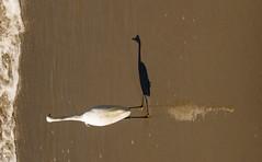 Me Myself and I (savedbytheart) Tags: beach ocean egret bird shadow reflection wave sand abstract