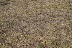 The Spring is Sprung ... (stalkertoow) Tags: lawn drought dry grass 2019 256