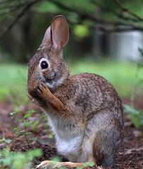 My bashful friend.... (Steve InMichigan) Tags: cottontailrabbit cottontailbunny rabbit canoneosm50 yashicaautoyashinonds50mmf17 fotasym42eosmlensadapter